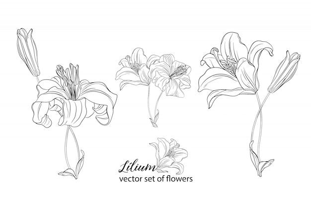 Zestaw kwiatów i pąków lilii.