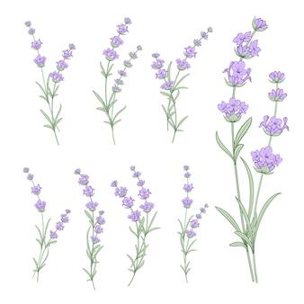 Zestaw kwiatów lawendy
