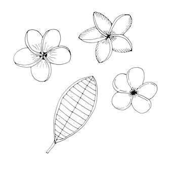 Zestaw kwiatów plumeria frangipani, ilustracji wektorowych, rysunek odręczny, szkic
