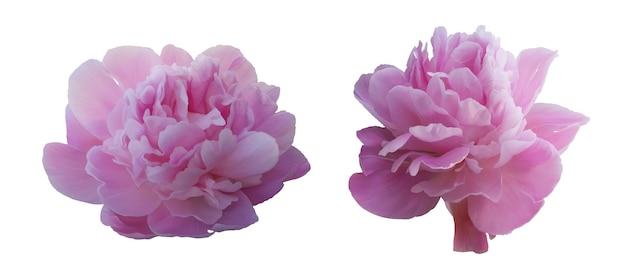 Zestaw Kwiatów Różowe Piwonie Premium Wektorów