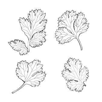 Zestaw liści kolendry, kolendry lub pietruszki chińskiej, szkic gryzmoły na białym tle