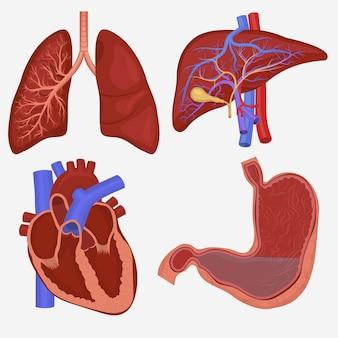 Zestaw ludzkich narządów wewnętrznych. anatomia płuc, wątroby, żołądka i serca.