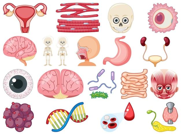 Zestaw ludzkich narządów wewnętrznych na białym tle