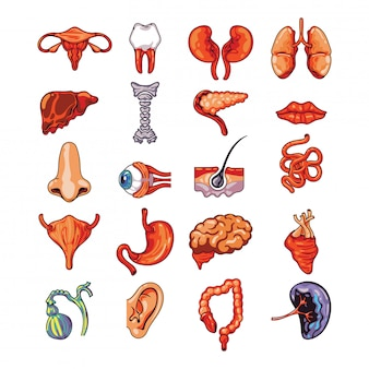 Zestaw ludzkich narządów wewnętrznych, w tym mózgu, serca, wątroby, śledziony, nerek, układu rozrodczego, skóry na białym tle ilustracji wektorowych