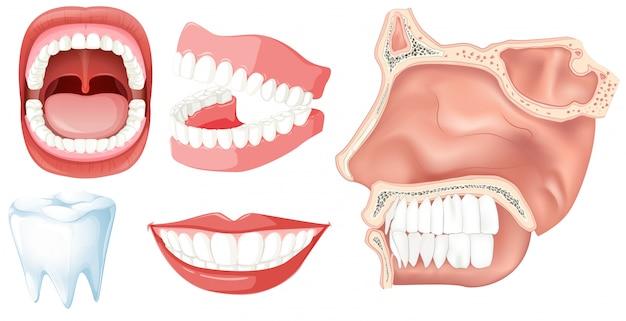 Zestaw ludzkich zębów