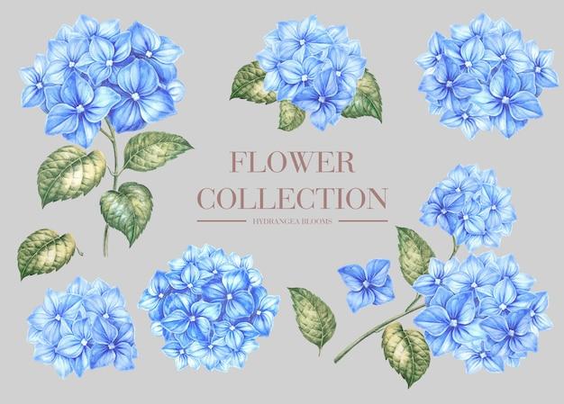 Zestaw niebieskich kwiatów hortensji.
