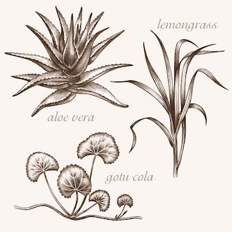 Zestaw obrazów wektorowych roślin leczniczych. biologiczne dodatki są. zdrowy tryb życia. aloe vera, trawa cytrynowa, gotu cola.