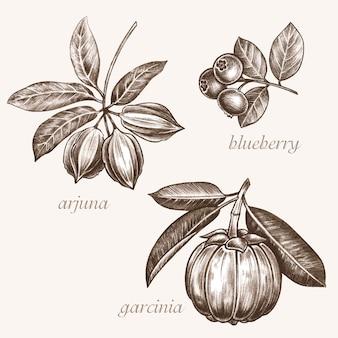 Zestaw obrazów wektorowych roślin leczniczych. biologiczne dodatki są. zdrowy tryb życia. arjuna, jagoda, garcyna.