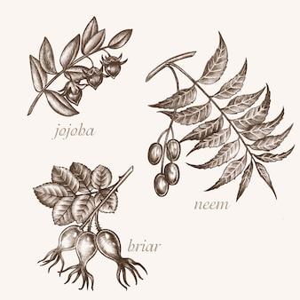 Zestaw obrazów wektorowych roślin leczniczych. biologiczne dodatki są. zdrowy tryb życia. jojoba, neem, wrzosiec.