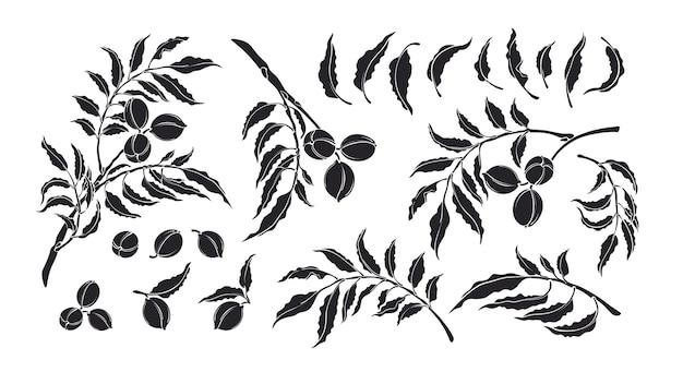 Zestaw pecan. ilustracja botaniczna. monochromatyczny organiczny pokarm białkowy