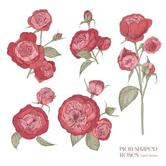 Zestaw pięknych rysunków botanicznych czerwonych róż w kształcie piwonii.