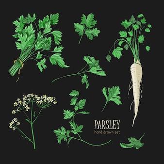 Zestaw pietruszki. ręcznie rysowane kolorowa kolekcja z zielenią, pęczkiem, liściem, korzeniem, kwiatem.