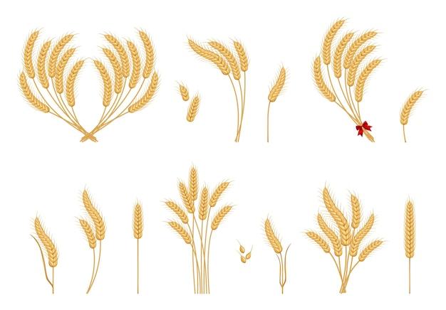Zestaw pszenicy dojrzałe kłosy