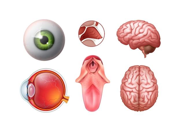 Zestaw realistycznych narządów ludzkich: gałka oczna, język, krzyż nosowy, górna część mózgu, widok z boku na białym tle