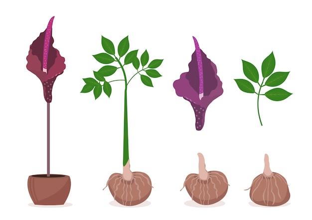 Zestaw roślin amorphophallus konjac. konjak składniki tradycyjnej kuchni japońskiej na makaron shirataki, gumę, glukomannan. ilustracja.