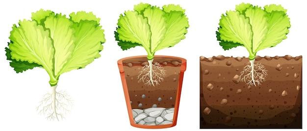 Zestaw roślin kapusty