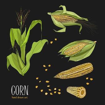 Zestaw roślin kukurydzy. kolorowe ręcznie rysowane kolekcji kukurydzy