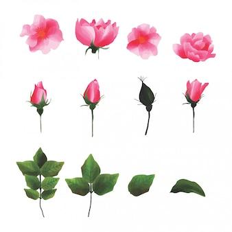 Zestaw róż na białym tle