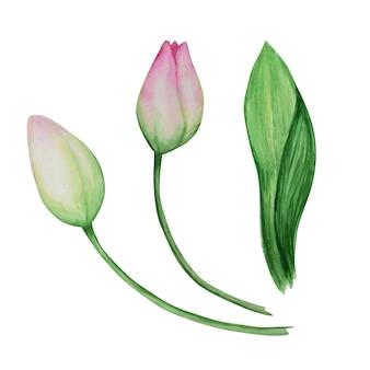 Zestaw różowy tulipan żółty, ręcznie rysowane akwarela ilustracja botaniczna