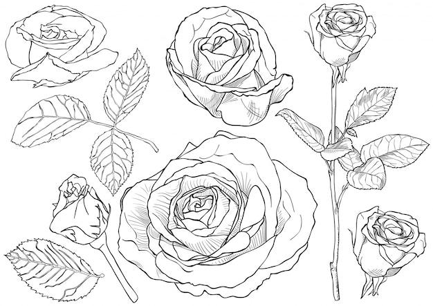 Zestaw rysunków czarno-białej róży