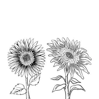 Zestaw rysunków kwiat słonecznika. ręcznie rysowane ilustracja na białym tle.