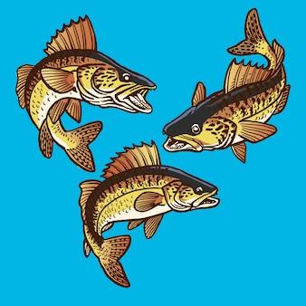 Zestaw skaczących ryb sandacza do kolekcji pakietów gamefish