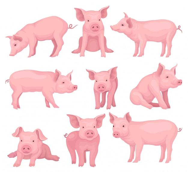 Zestaw świń w różnych pozach. słodkie zwierzę hodowlane z różową skórą, pyskiem, kopytami i dużymi uszami. zwierzęta gospodarskie elementy książki lub plakatu dla dzieci. ilustracje w stylu kreskówek.