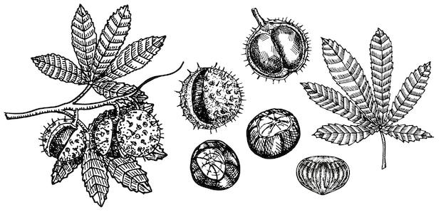 Zestaw szkiców kasztanowca. gałąź drzewa kasztanowca. czarno-białe owoce i liście kasztanowca. ręcznie rysowane ilustracji. kolekcja jesienna. styl grawerowania.