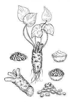 Zestaw szkicu wasabi. korzeń wasabi, plasterek, wyciek sosu, rysunek groszku.