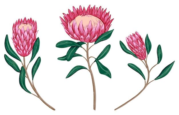Zestaw tropikalnych kwiatów protea. ręcznie rysowane ilustracji wektorowych. kolekcja egzotycznych roślin. vintage szkice botaniczne na białym tle.