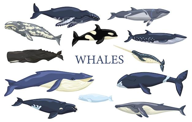 Zestaw wielorybów na białym tle. kolekcja zwierząt oceanicznych płetwal błękitny, szary, garbus, płetwa, norka, bowhead, prawo, bieługa, cachalot, narwal i orka. ilustracja wektorowa do dowolnych celów.