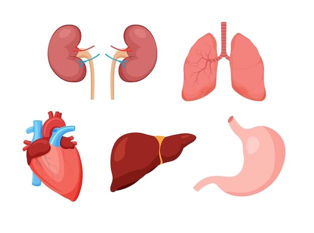 Zestaw zdrowych ludzkich narządów wewnętrznych