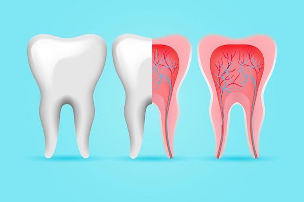 Zestaw zębów wewnętrznych i zewnętrznych