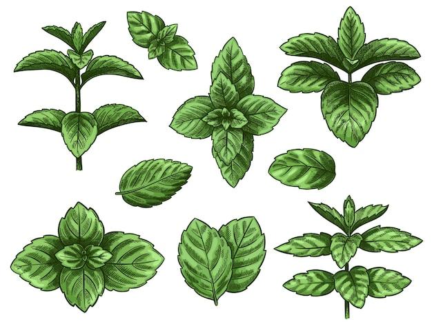 Zestaw zielonych liści mięty