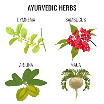Zestaw ziół ajurwedyjskich na białym tle. gymnema, czerwone jagody sambuku lub czarnego bzu, zdrowy korzeń maca, realistyczna ilustracja organicznych roślin leczniczych arjuna ayurveda