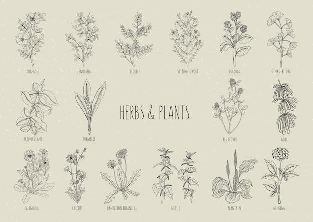 Zestaw ziół. kolekcja ręcznie rysowane medyczne, botaniczne i lecznicze pojedyncze rośliny. kontur