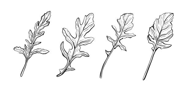 Zestaw ziół włoskich rukola na białym tle. rukolę. ilustracja w stylu doodle