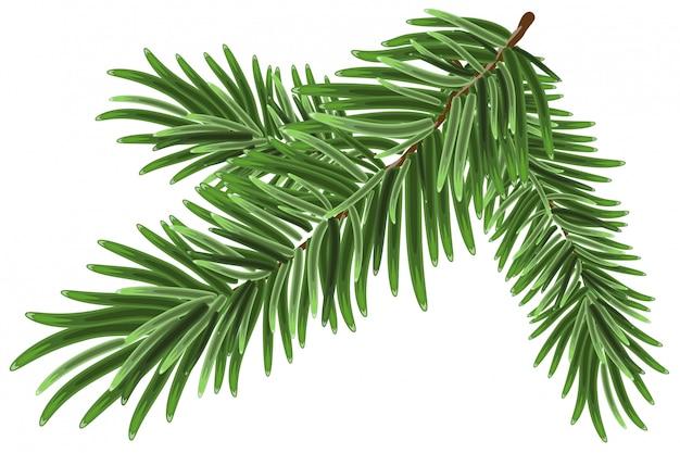 Zielona bujna gałąź świerkowa. gałęzie jodły