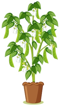 Zielony groszek lub roślina grochu w garnku w stylu kreskówka na białym tle