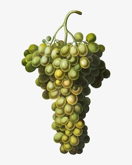 Zielony klaster winogron