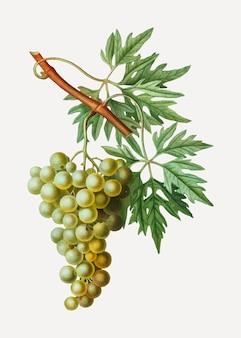 Zielony klaster winogronowy