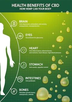 Zielony plakat z infografiką przedstawiającą korzyści cbd dla twojego ciała i sylwetki ludzkiego ciała. korzyści zdrowotne wynikające z cannabidiol cbd z konopi indyjskich, konopi, marihuany, wpływ na organizm