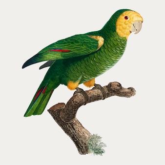Żółta ramiona papuga