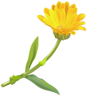 Żółta roślina nagietka na białym tle