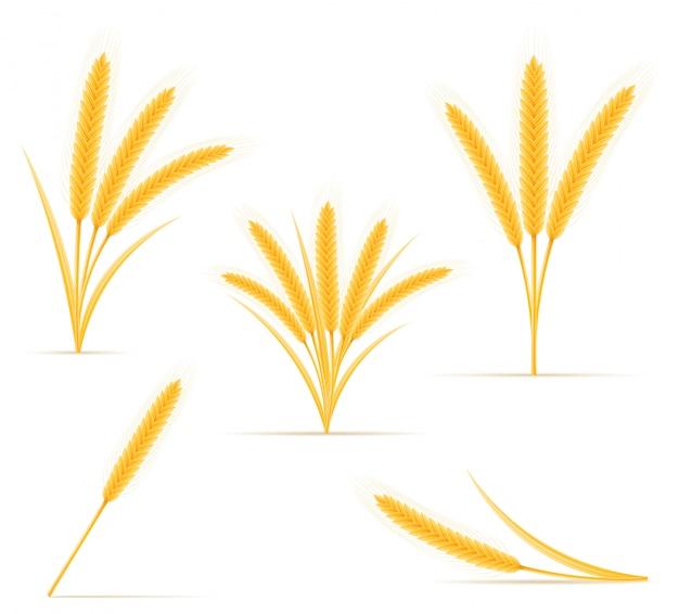 Żółte kłosy dojrzałej kłoski pszenicy