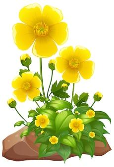 Żółte kwiaty i skały na białym tle