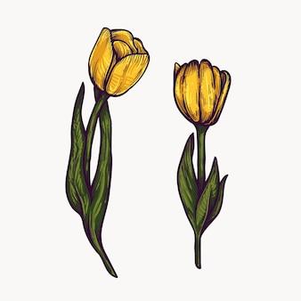 Żółte kwiaty tulipanów ręcznie rysowane na białym tle kolorowe i zarys clipart.