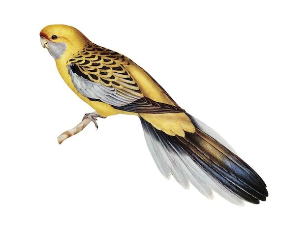 Żółto-rumped ilustracji parakeet