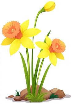 Żółty daffodil kwitnie na bielu