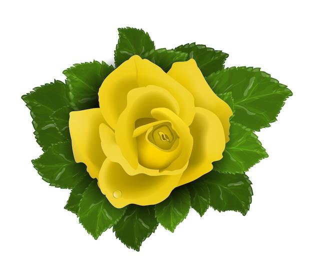 Żółty kwiat róży z liśćmi na białym tle